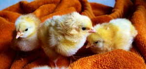 Easter chicks are often abandoned after the holiday excitement wears off.